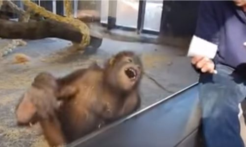Orangutan Cracks Up Watching Magic Trick